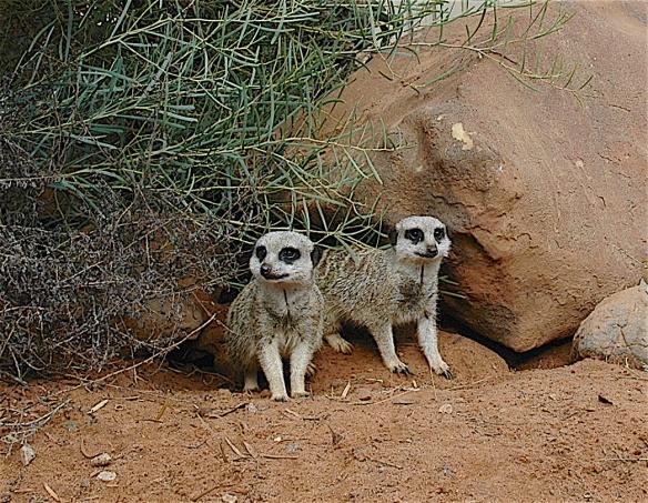 6.meerkats1