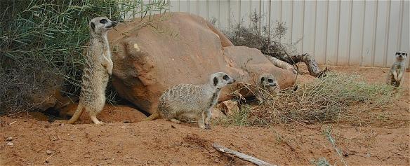 7.meerkats2