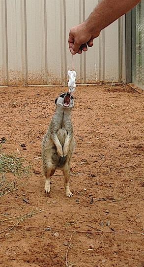 8.meerkats3