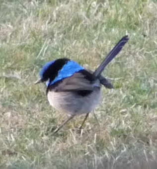 15.superb blue wren1