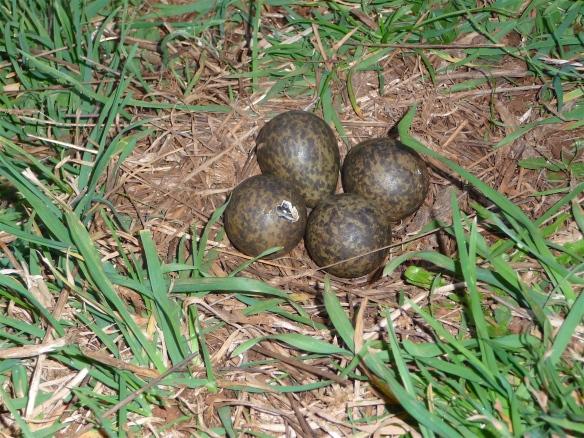 38.masked lapwing eggs1