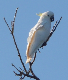 5.sc cockatoo1