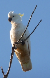 7.sc cockatoo4