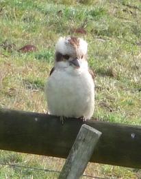 8.kookaburra1