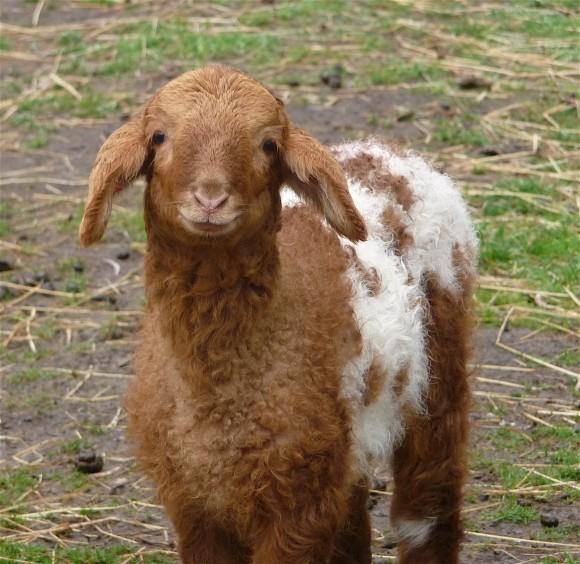12.lamb