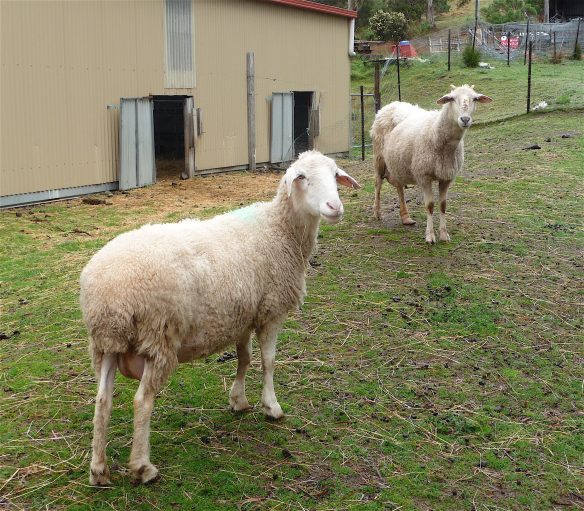 5.sheep