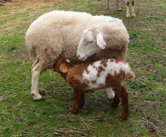 6.sheep