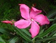 28.oleander