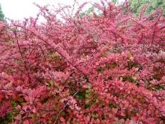 32.red bush