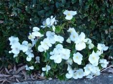 34.white flowers