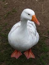 16.goose2
