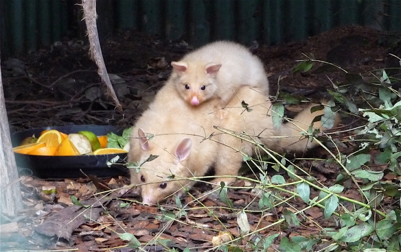 17.golden brushtail possum