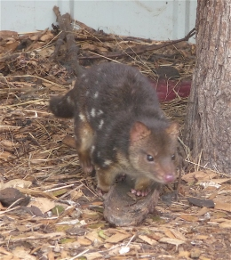 20.eastern quoll2