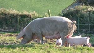 20.pigs