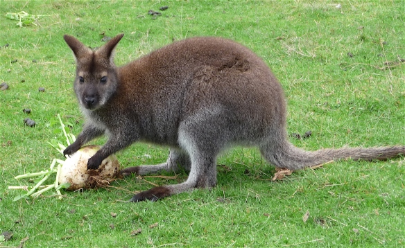 23.Bennett's wallaby1