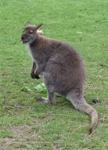 24.Bennett's wallaby2
