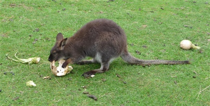 25.Bennett's wallaby3