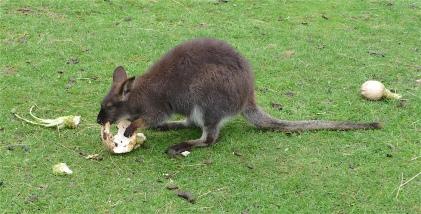 25.Bennett's wallaby3