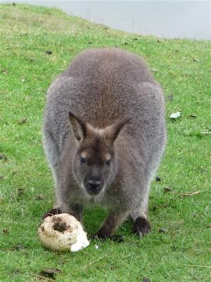 26.Bennett's wallaby4