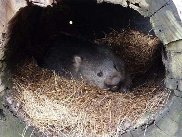 31.wombat1