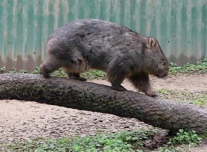 32.wombat2