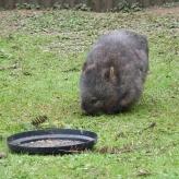 33.wombat3