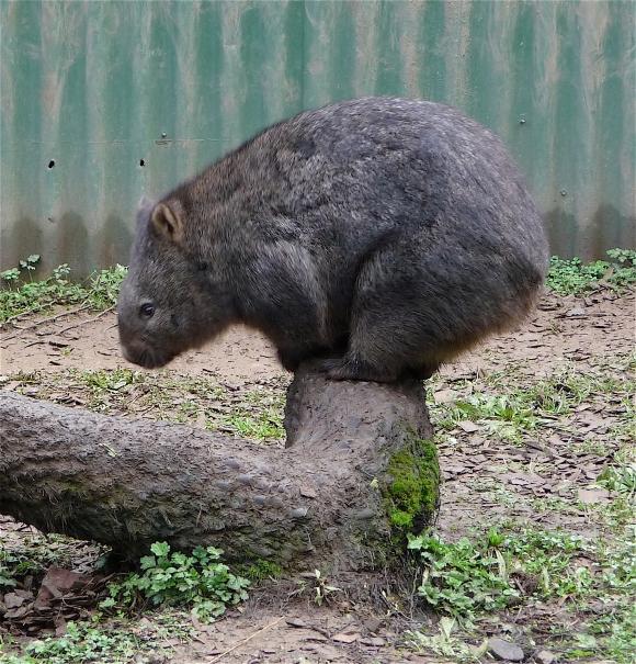 35.wombat5