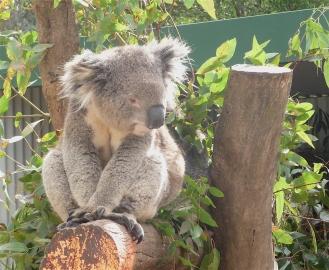 36.koala1