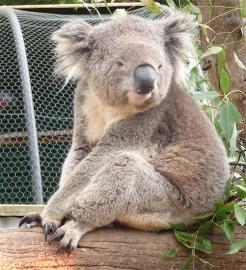 37.koala2