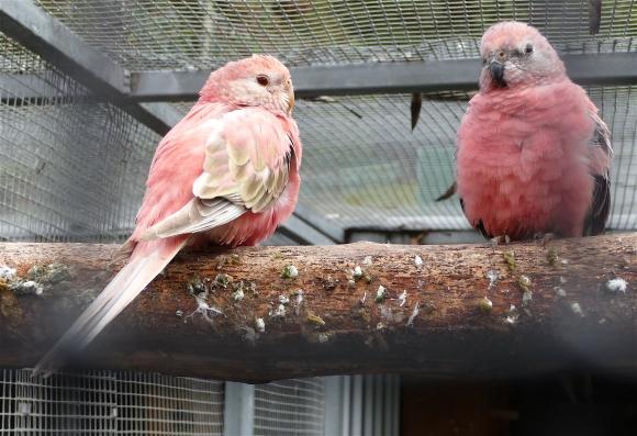 43.Bourke's parrot