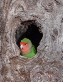 44.peach faced lovebird