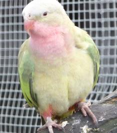 45.princess parrot