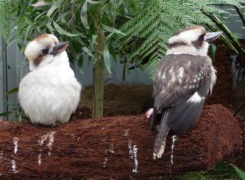 47.kookaburra