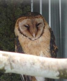 48.masked owl
