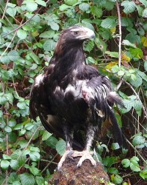 49.eagle