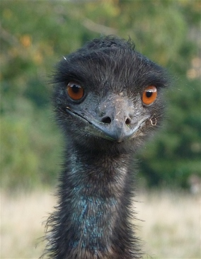 50.emu