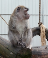 52.crab-eating macaque2