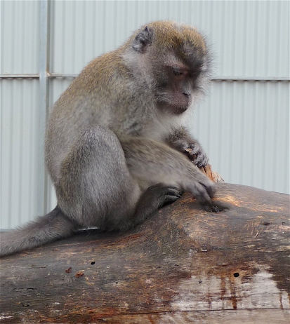 53.crab-eating macaque3