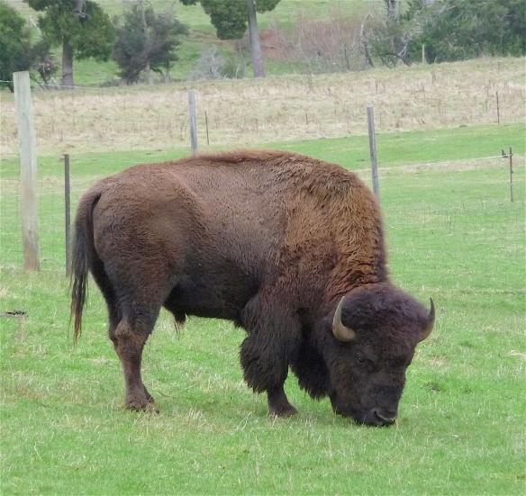 54.bison