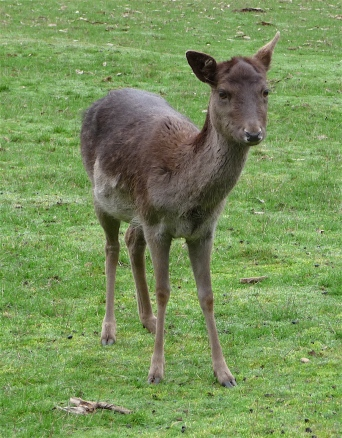 55.deer