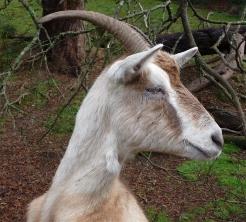 59.goat1