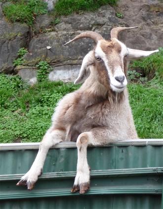 60.goat2
