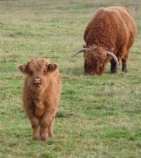 61.highland cattle