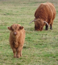 61.highland cattle