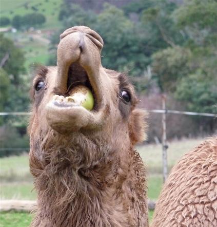 65.camel3