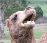 66.camel4