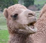 67.camel5