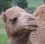 68.camel6