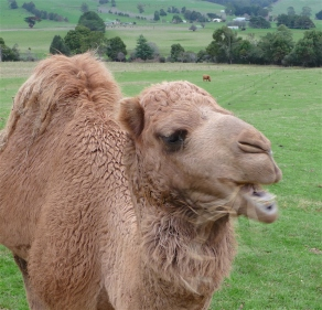 69.camel7