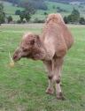 71.camel9